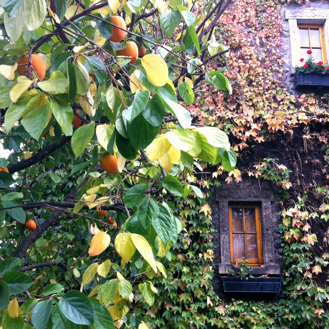 Persimmons at Far Niente