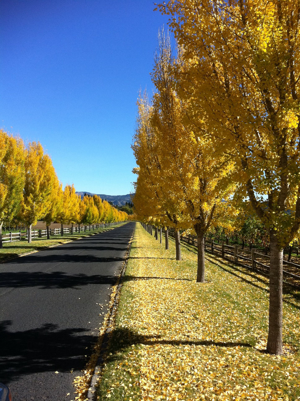 Gingkos at our Napa Valley Vineyard