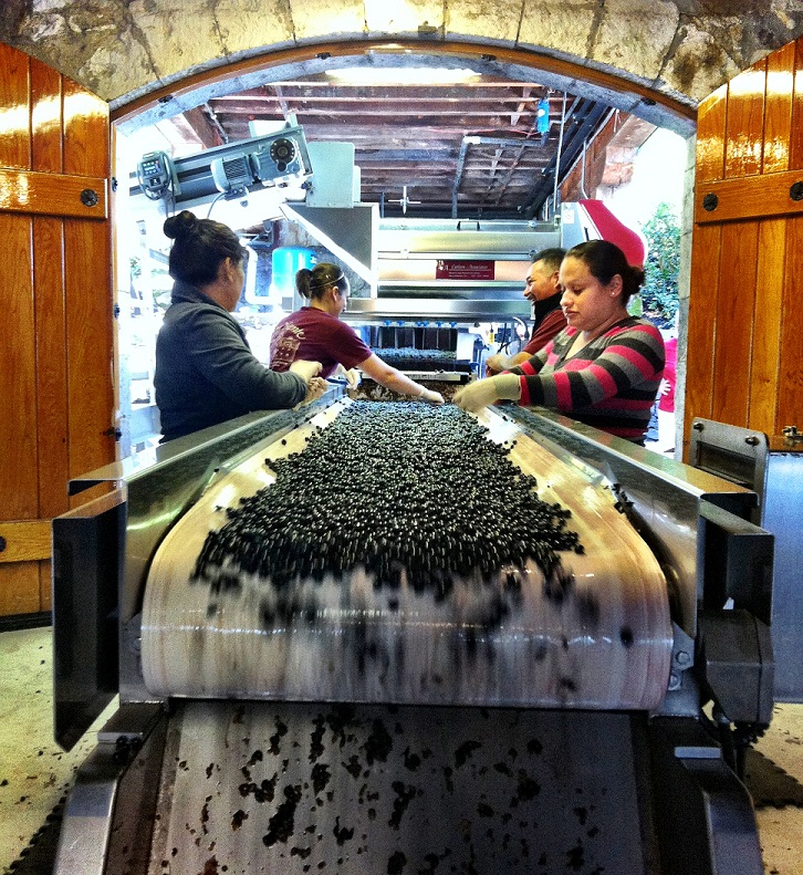 hand sorting cabernet grapes
