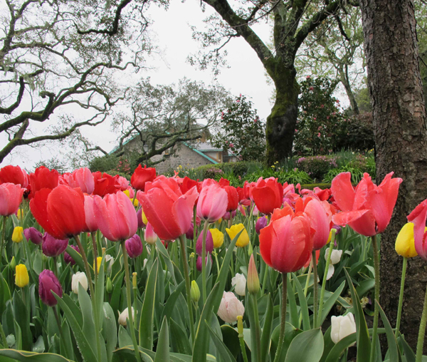 far niente garden tulips