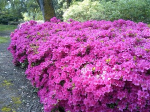 Azaleas at Far Niente