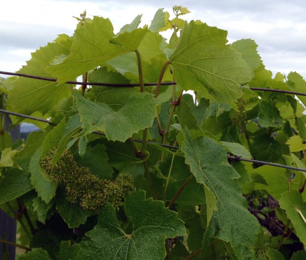 2014 Far Niente Chardonnay, in bloom
