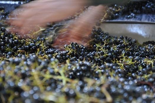 oakville-cabernet-sorting